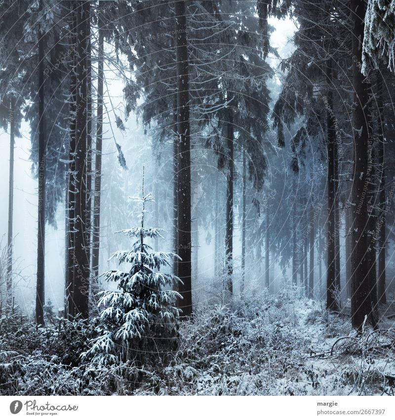 The last Christmas tree in the forest Nature Winter Climate Fog Ice Frost Snow Snowfall Plant Tree Foliage plant Agricultural crop Forest White Coniferous trees