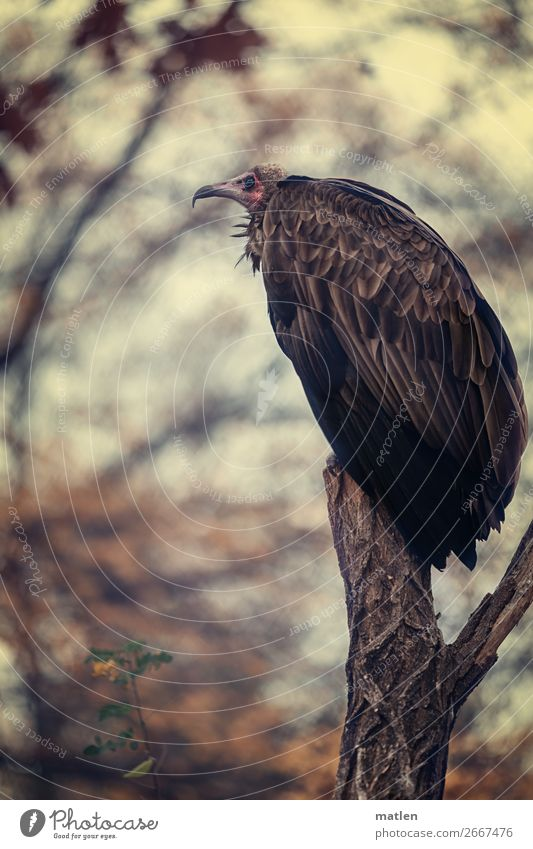 to the vulture Animal Autumn Tree Rose Bird Animal face Wing 1 Sit Vulture Calm Relaxation Subdued colour Close-up Copy Space left Copy Space right