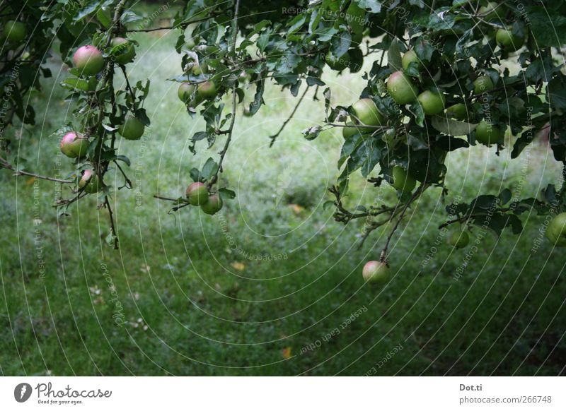 quarter to fully ripe Fruit Apple Nature Plant Summer Tree Grass Garden Green Idyll Fruit garden Mature reap Leaf Feral Colour photo Subdued colour