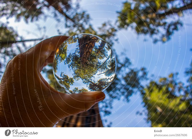 Ancient Giant Redwood Sequoia Tree in Glass Ball Design Beautiful Relaxation Vacation & Travel Mountain Environment Nature Landscape Forest Sphere Globe Old