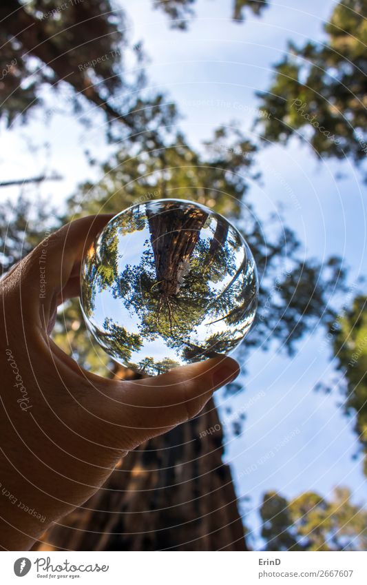 Giant Sequoia Redwood Trees Captured in Glass Ball Design Beautiful Relaxation Vacation & Travel Mountain Environment Nature Landscape Forest Sphere Globe