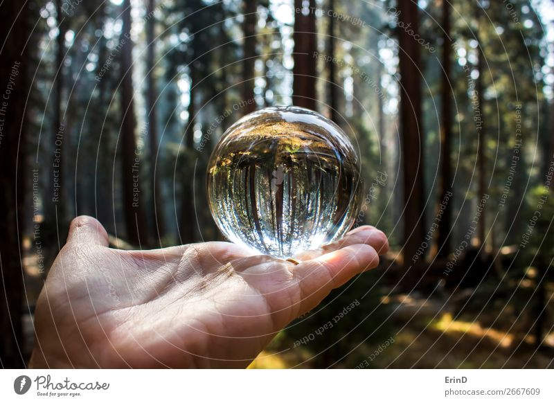 Giant Redwood Sequoia Tree Forest in Glass Ball Vacation & Travel Nature Beautiful Green Landscape Hand Relaxation Mountain Environment Exceptional Design