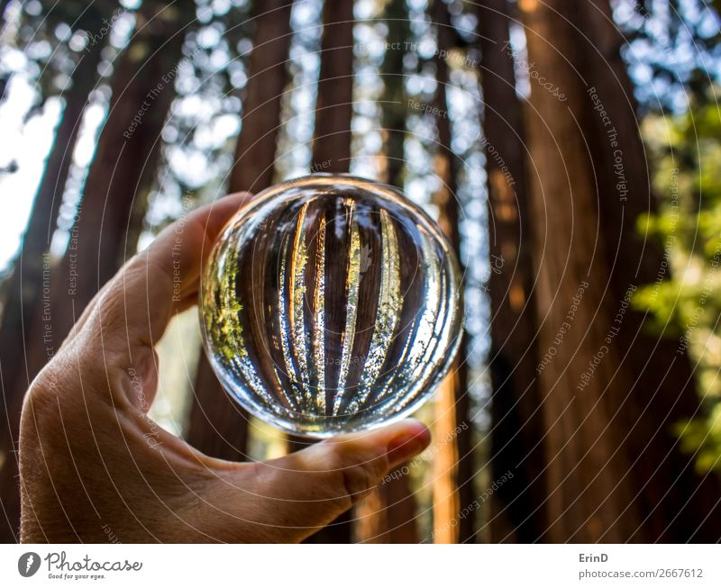 Giant Redwood Sequoia Trees in Crystal Globe Design Beautiful Relaxation Vacation & Travel Mountain Environment Nature Landscape Forest Sphere Growth