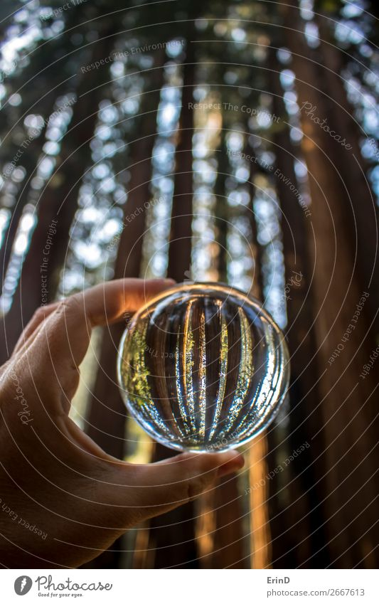 Tall Giant Redwood Forest Trees in Glass Ball Design Beautiful Relaxation Vacation & Travel Mountain Environment Nature Landscape Sphere Globe Growth
