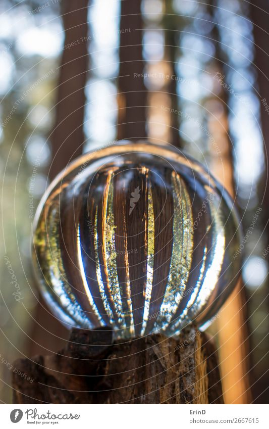 Glass Ball Reflection of Giant Sequoia Redwood Trees Vacation & Travel Nature Beautiful Landscape Relaxation Forest Mountain Environment Exceptional Design