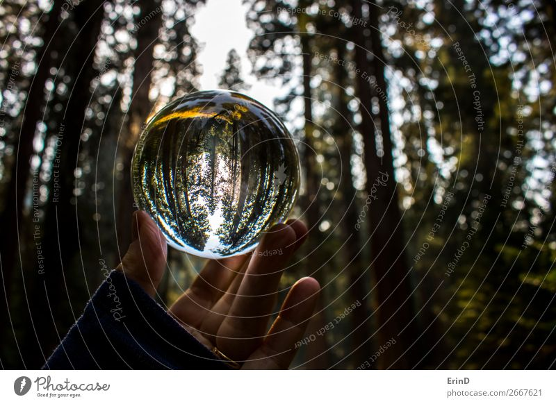 Redwood Forest Captured in Glass Ball Reflection Beautiful Relaxation Calm Vacation & Travel Tourism Mountain Environment Nature Landscape Tree Meadow Sphere
