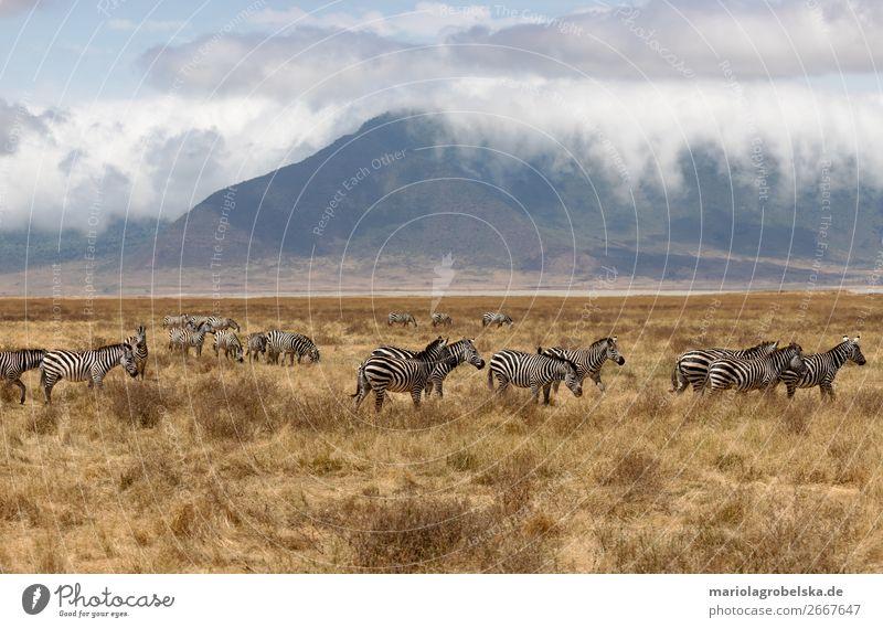 Ngorongoro Crater Safari Africa Nature Landscape Plant Animal Earth Sand Clouds Summer Beautiful weather Fog Grass Bushes Field Mountain Wild animal Herd
