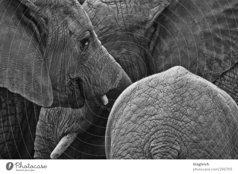 Thick skins IV Animal Wild animal Zoo Elephant Elephant skin Tusk Elefantears 3 Gray Calm Contentment Black & white photo Exterior shot Deserted Day