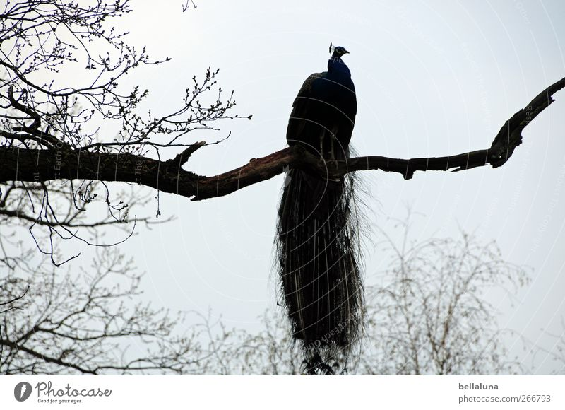 keep the overview Nature Cloudless sky Tree Animal Wild animal Bird Wing 1 Sit Esthetic Athletic Exotic Free Beautiful Peacock Branch Twigs and branches