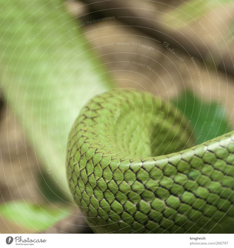 snake Animal Snake 1 Green Snake skin Wiggly line Scales Colour photo Deserted Shallow depth of field
