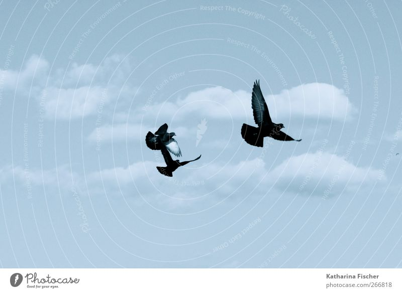 Fly birds fly Nature Elements Air Sky Clouds Spring Summer Autumn Winter Animal Bird Pigeon 3 Group of animals Flying Blue Black White flying hour Freedom Hue