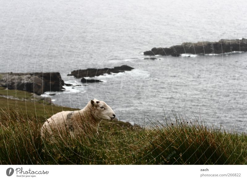 Green Plant Ocean Landscape Animal Meadow Autumn Grass Coast Rain Waves Fog Sit Tourism Island Sheep