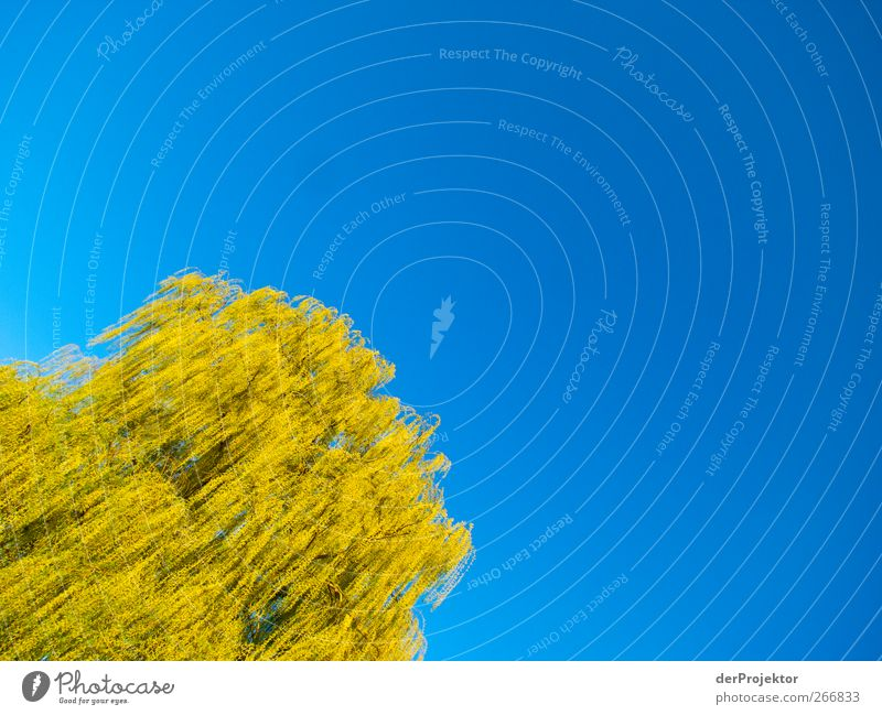 yellow air jellyfish Environment Nature Sun Beautiful weather Tree Garden Park Elegant Blue Yellow Green Weeping willow Colour photo Copy Space right