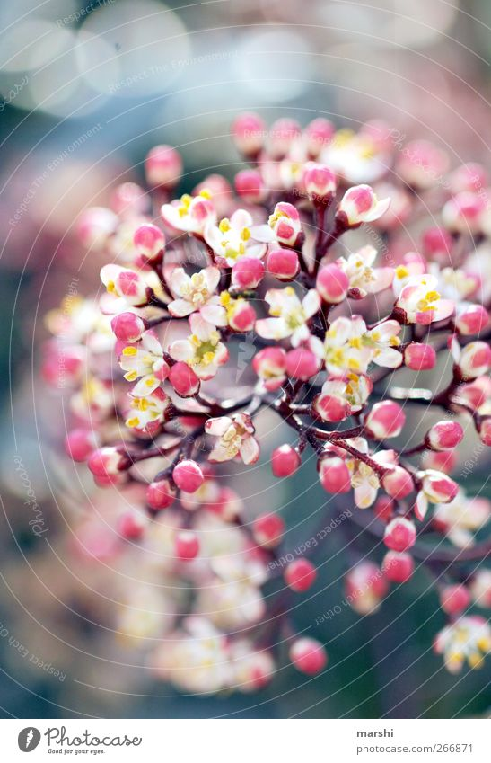 flowerpower Nature Plant Spring Summer Flower Bushes Blossom Pink Fragrance Bud Blur Blossoming Colour photo Exterior shot Detail Macro (Extreme close-up) Day
