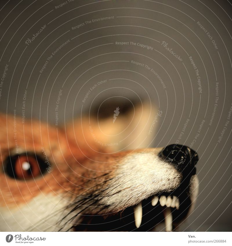 Nature Red Animal Eyes Gray Orange Wild animal Threat Pelt Animal face Set of teeth Aggression Snout Fox Dead animal