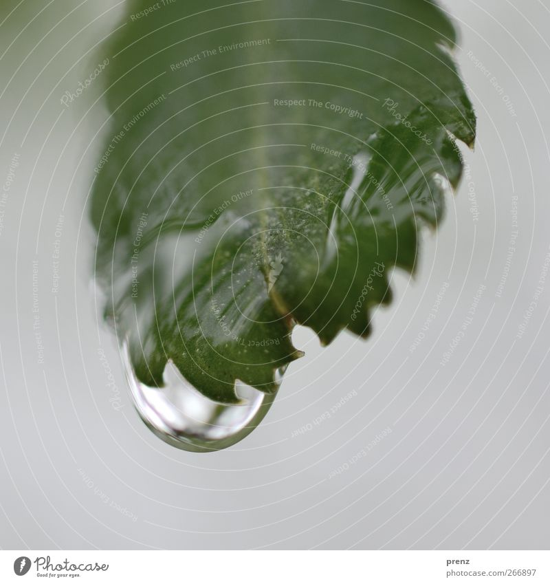 Nature Water Green Plant Leaf Environment Gray Rain Drops of water Bushes Rachis Prongs Leaf green Wild plant
