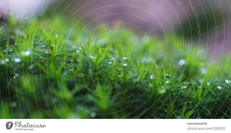 moss pearls Environment Nature Plant Sunrise Sunset Bad weather Grass Moss Foliage plant Wild plant Authentic Fresh Wet Green Violet White Colour photo