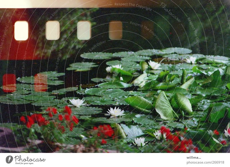 Green Plant Red Flower Blossom Analog Pond Perforation Water lily Lotus Sprocket holes (film) Water lily leaf Lotus flower Water lily pond Lotus leaf
