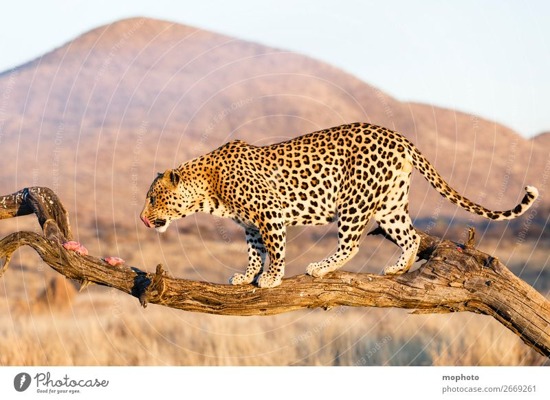 Leopard #14 Meat Tourism Safari Mountain Climbing Mountaineering Nature Landscape Animal Tree Grass Desert Wild animal To feed Dangerous Vacation & Travel