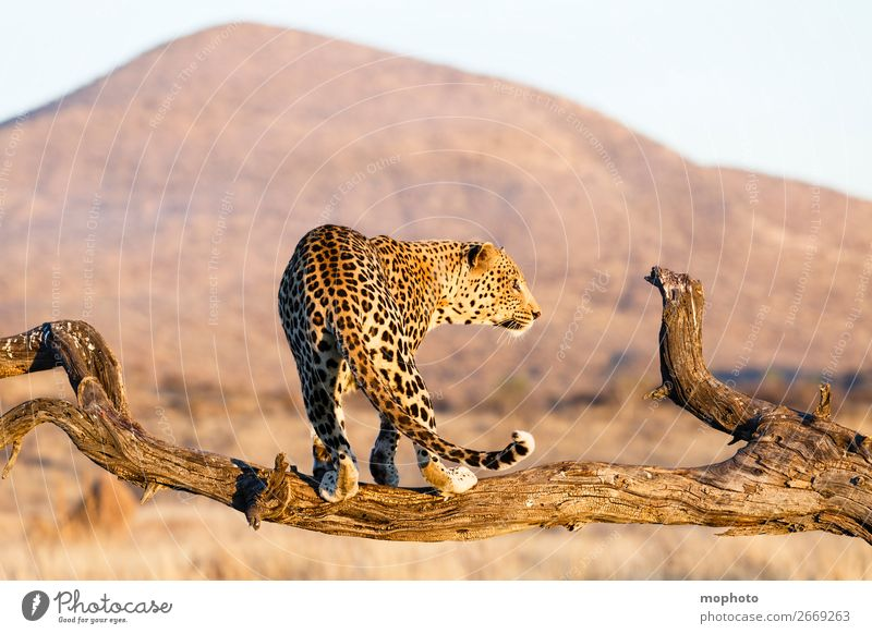 Leopard #15 Tourism Safari Mountain Climbing Mountaineering Nature Landscape Animal Tree Grass Desert Wild animal Dangerous Adventure Elegant Vacation & Travel