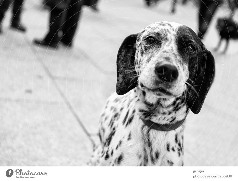 Allow me, 102. Animal Pet Dog Animal face Observe Smiling Looking Dalmatian Point Dappled Spotted Lop ears Eyes Snout Alert Friendliness Group Nose Tilt