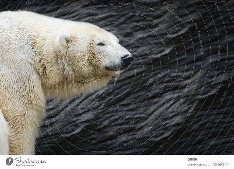 Polar Bear Zoo Nature Animal Wild animals Carnivore fauna head Mammal predator ursus wildlife Exterior shot Portrait photograph