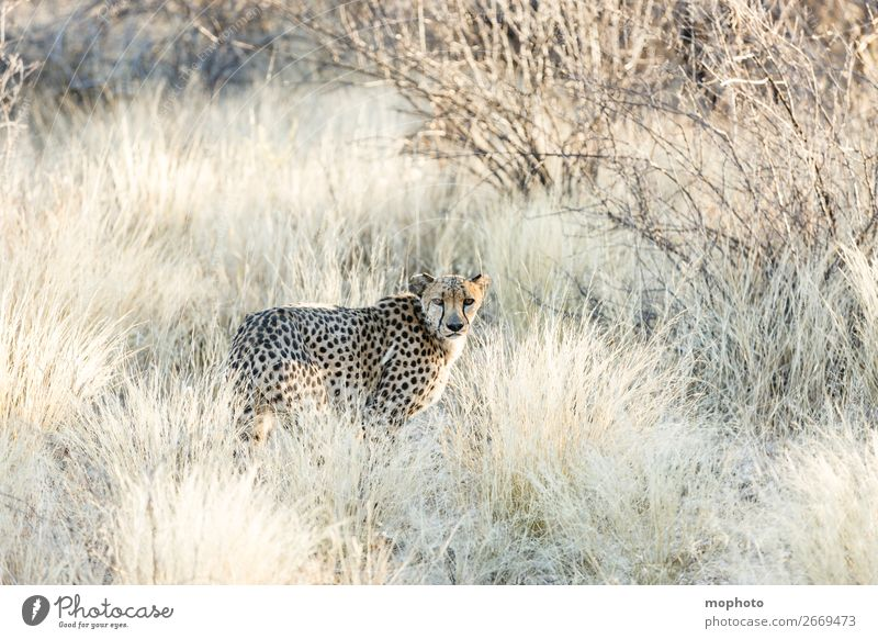 Cheetah #3 Tourism Safari Nature Animal Grass Desert Wild animal Animal face Vacation & Travel Africa Namibia Big cat arid disguised Grassland Cat portrait