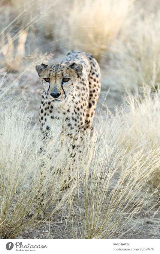 Cheetah #4 Tourism Safari Nature Animal Grass Desert Wild animal Animal face Vacation & Travel Africa Namibia Big cat arid disguised Grassland Cat portrait
