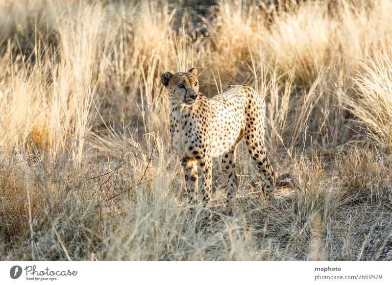 Cheetah #5 Tourism Safari Nature Animal Grass Desert Wild animal Animal face 1 Vacation & Travel Africa Namibia Big cat arid Grassland Cat portrait