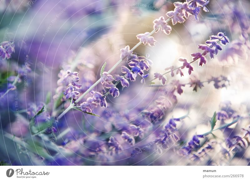 Nature Plant Summer Flower Blossom Natural Authentic Bushes Violet Blossoming Herbs and spices Fragrance Lavender Summery Summerflower