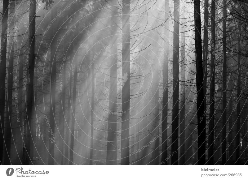 sunrays Summer Thin Far-off places Good Black White Discover Passion Future Forest Dark Black & white photo Pattern Day Sunlight Sunbeam Central perspective