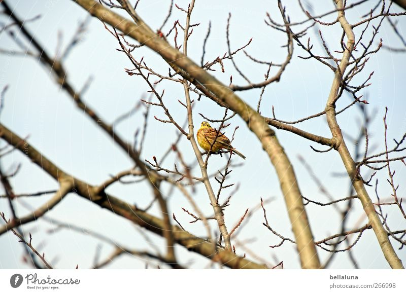 badminton Nature Sky Cloudless sky Tree Bushes Animal Wild animal Bird 1 Sit Sing Branch Colour photo Subdued colour Exterior shot Deserted Morning Day Light