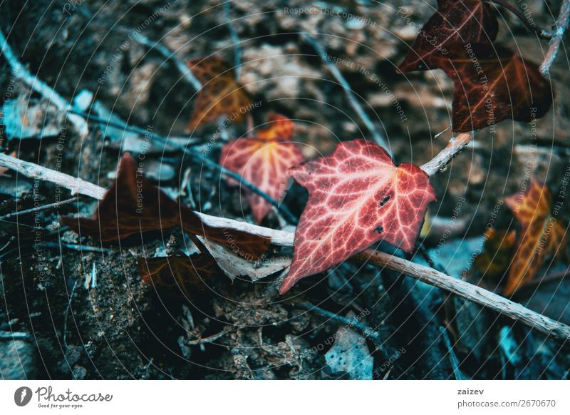 Autumn colored hedera helix hanging on a branch Design Beautiful Life Mountain Wallpaper Climbing Mountaineering Environment Nature Plant Leaf Forest Sadness