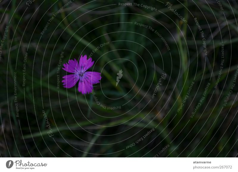 Carthusian carnation Nature Plant Flower Blossom Wild plant Meadow Serene Calm Exterior shot Close-up Deserted