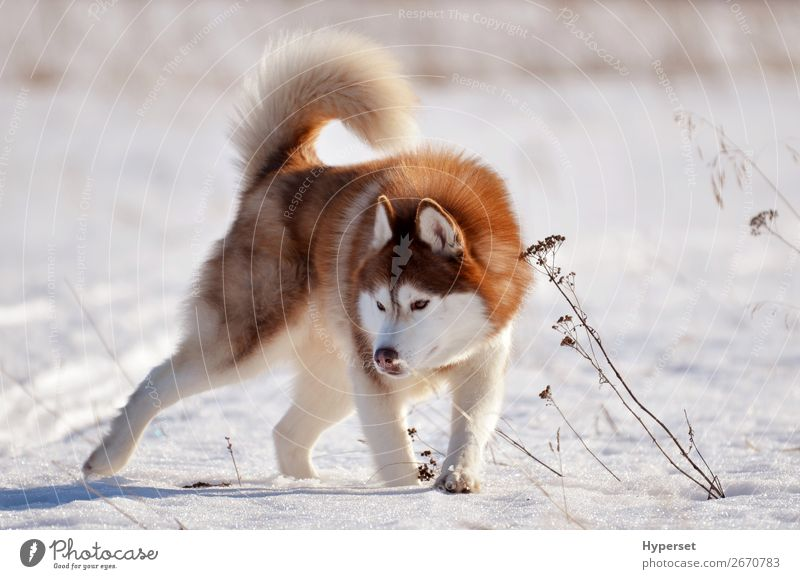Red dog husky standing in snow field in aggressive pose Joy Happy Beautiful Face Winter Snow Sports Nature Animal Fur coat Pet Dog Aggression Cute Brown White