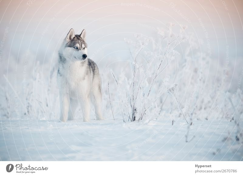 Siberian husky winter Beautiful Winter Snow Nature Landscape Animal Sky Grass Forest Fur coat Pet Dog Stand Cute Blue White young Dusk The Arctic North hoar