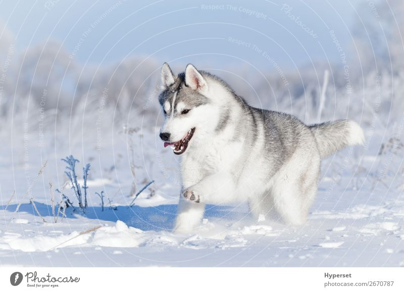Nothern sledding husky dog running in winter snow Joy Happy Beautiful Face Winter Snow Sports Nature Animal Sky Grass Fur coat Pet Dog Cute White Emotions Husky