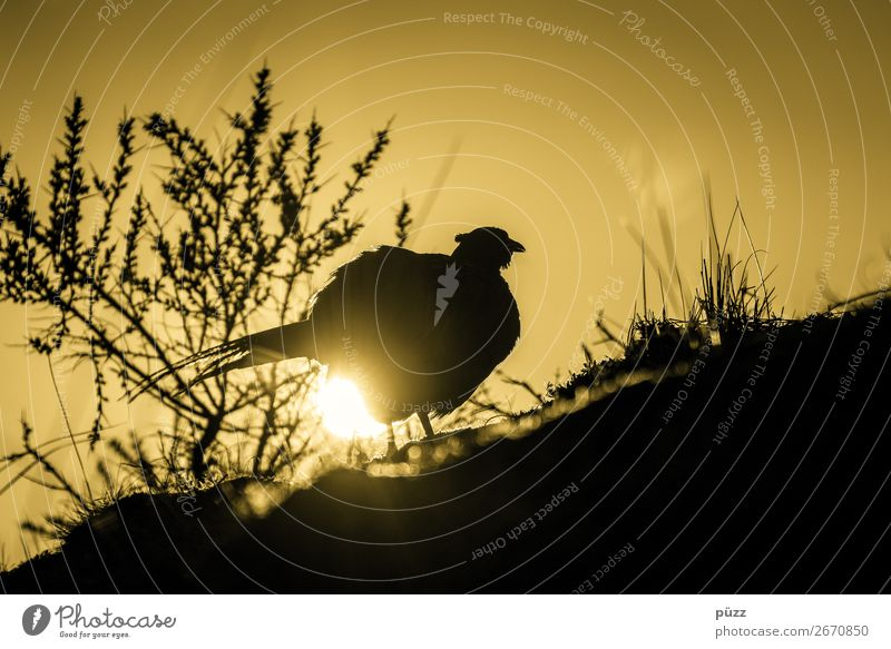 The chicken lays the golden eggs Environment Nature Landscape Plant Animal Elements Sun Sunrise Sunset Sunlight Spring Summer Coast Beach North Sea Island