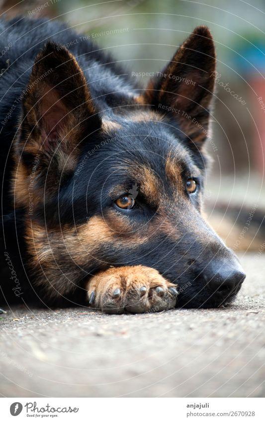 Dog German shepherd dog lies Animal Pet Lie Sleep Sadness Grief Dog's snout Fatigue Guard Friendliness German Shepherd Dog Black Courtyard Nose Watchfulness
