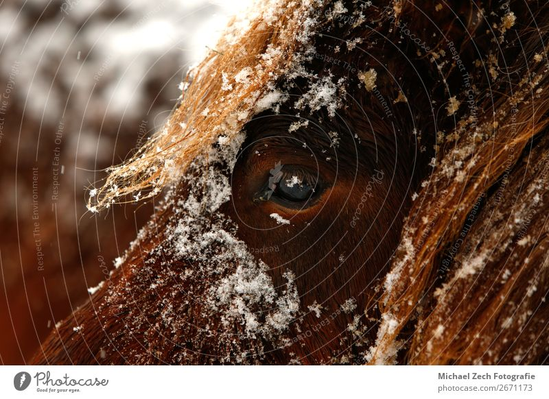 Detailed close up portrait of a snowy brown Horse Beautiful Face Winter Snow Mouth Lips Nature Animal Brown Black White bay Beauty Photography Cattle Chestnut