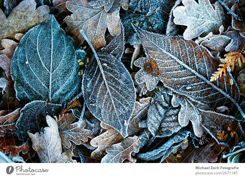 Frost covered leaves lie on the ground Winter Snow Garden Environment Nature Landscape Plant Weather Tree Flower Leaf Ornament Freeze Natural Wild Blue White