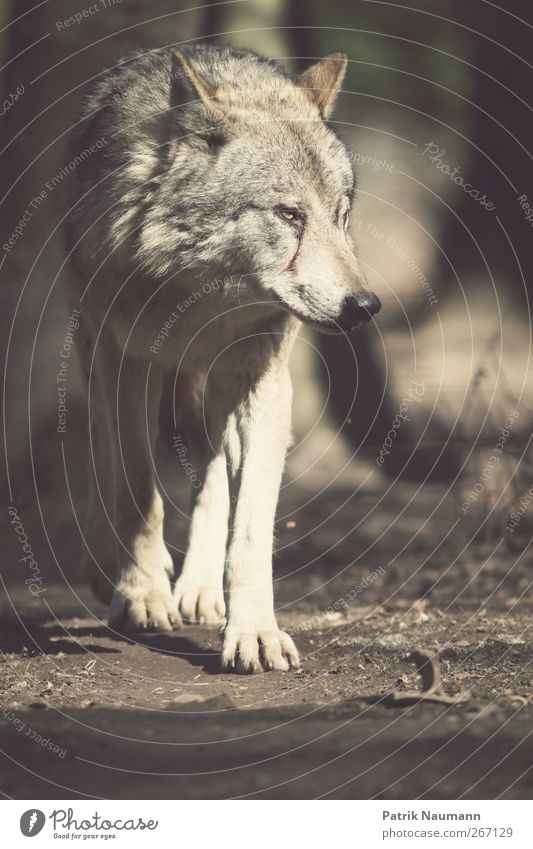 the evil wolf Hair and hairstyles Earth Wild animal Pelt Paw Zoo Wolf Pack Observe Catch To feed Looking Athletic Threat Large Beautiful Cuddly Astute Curiosity