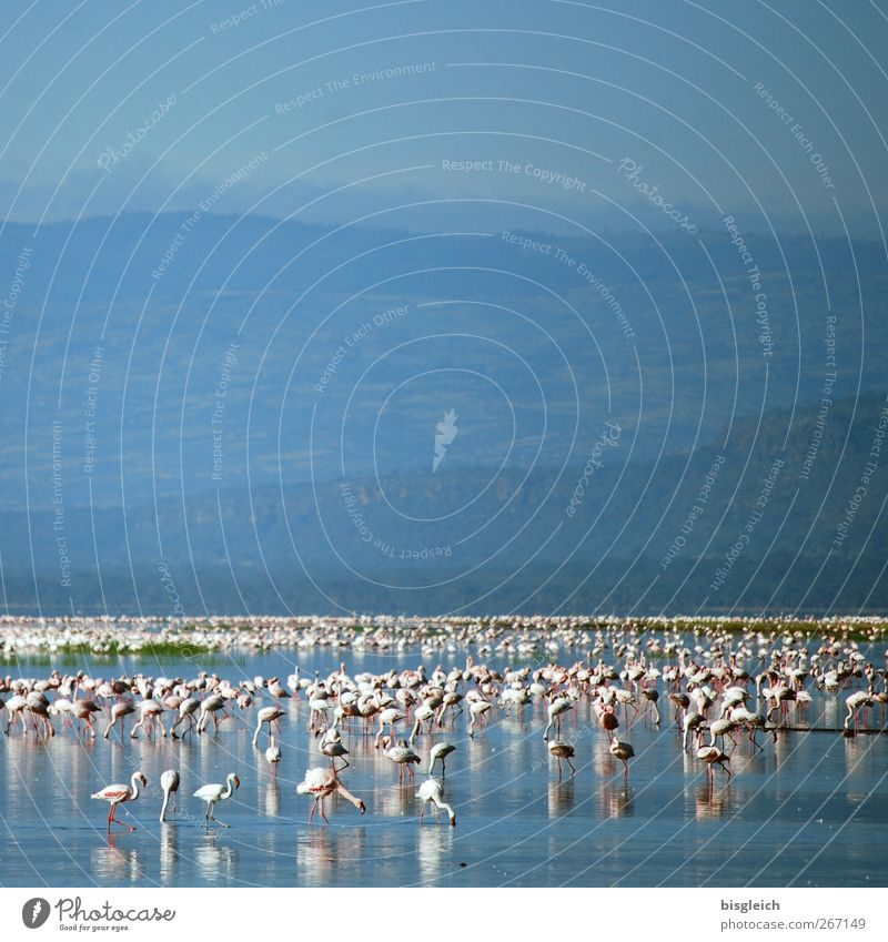 flamingos Lake Lake Nakuru Lake Nakuru National Park Kenya Africa Animal Bird Flamingo Flock Blue Pink White Colour photo Exterior shot Deserted Copy Space top