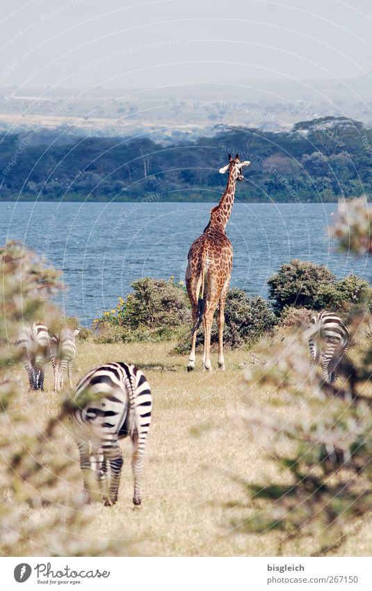 wildlife Kenya Africa Giraffe Zebra 4 Animal Stand Blue Brown Colour photo Exterior shot Deserted Copy Space top Day