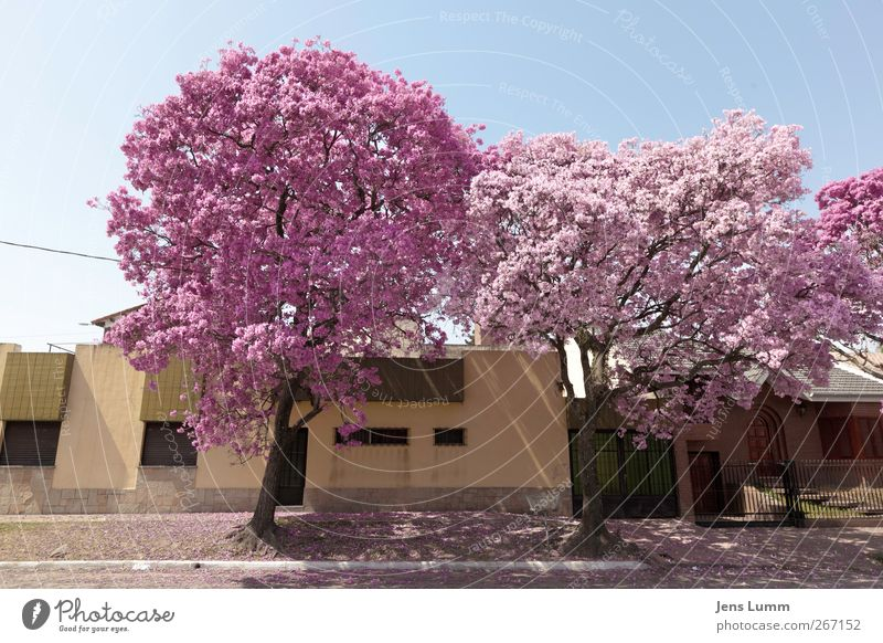 Cherry Blossom Girls Town Blue Pink tucuman Argentina South America Tree Blossoming Spring Street Curbside Facade Multicoloured Exterior shot Deserted Day