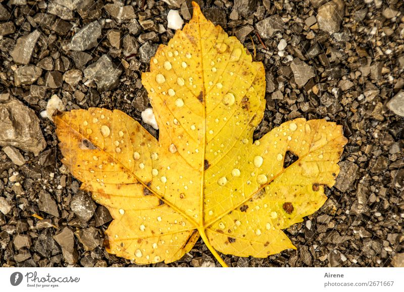 Nature Leaf Calm Autumn Yellow Cold Natural Sadness Brown Rain Gold Weather Lie Drops of water Transience Wet