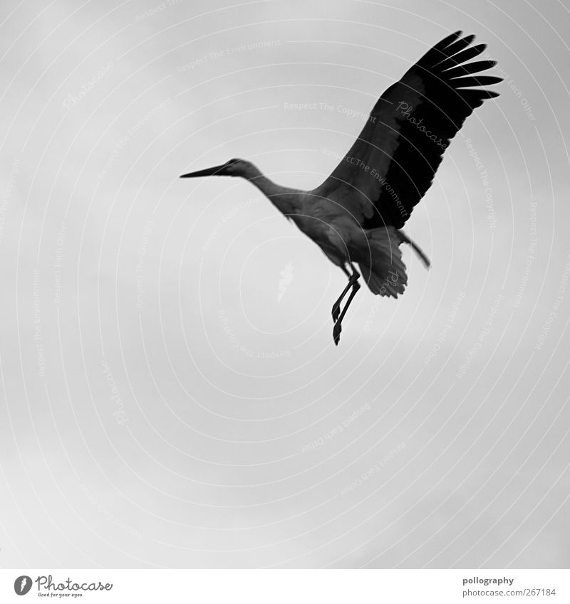 Attention low fliers! Air Clouds Spring Bad weather Animal Wild animal Stork 1 Freedom Metal coil Wing Beak Feather Geranium Black & white photo Exterior shot