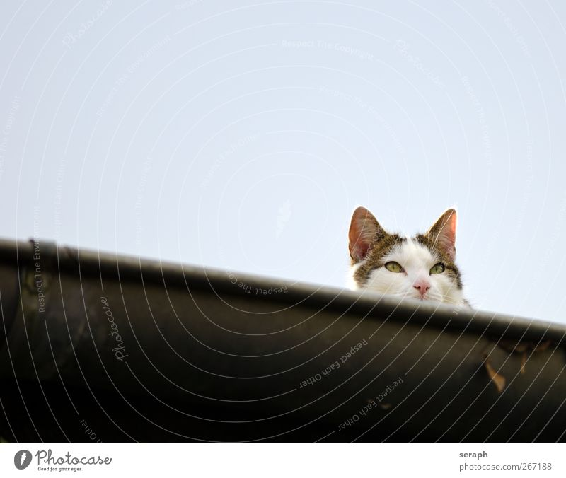 Cat Sky Beautiful Animal Face Playing Gray Free Sweet Roof Stripe Cute Listening Hide Striped Pet