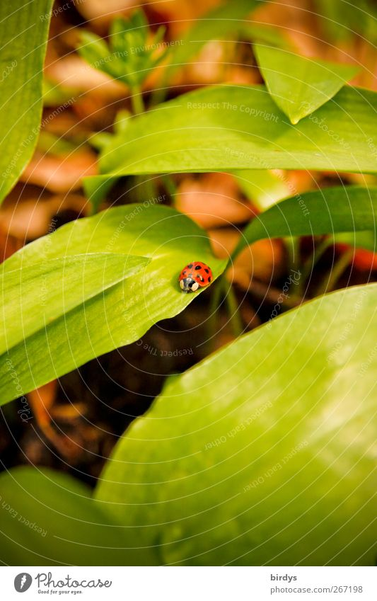 Nature Green Beautiful Plant Red Animal Spring Contentment Natural Growth Authentic Insect Crawl Ladybird Woodground Leaf green