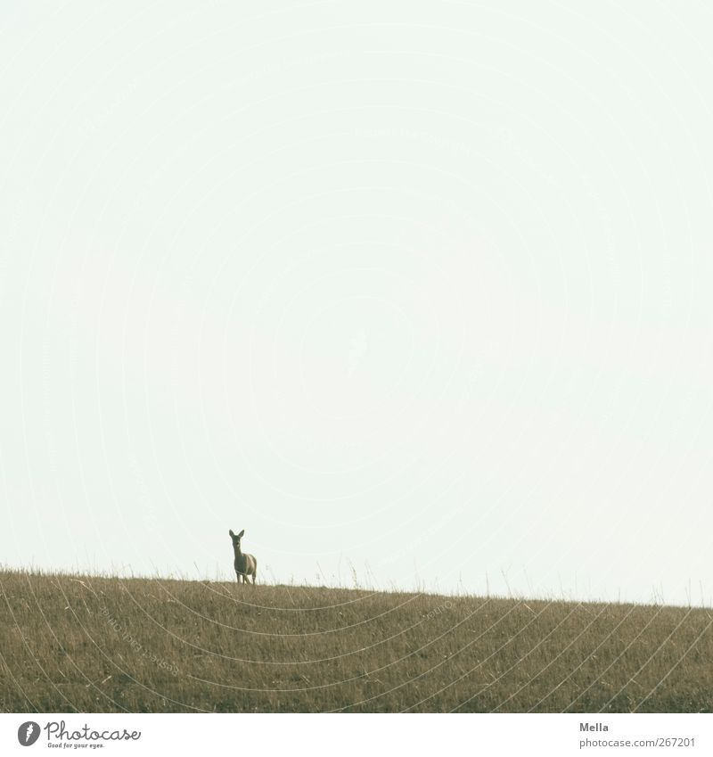 Nature Animal Environment Landscape Meadow Freedom Field Wild animal Natural Stand Curiosity Watchfulness Roe deer